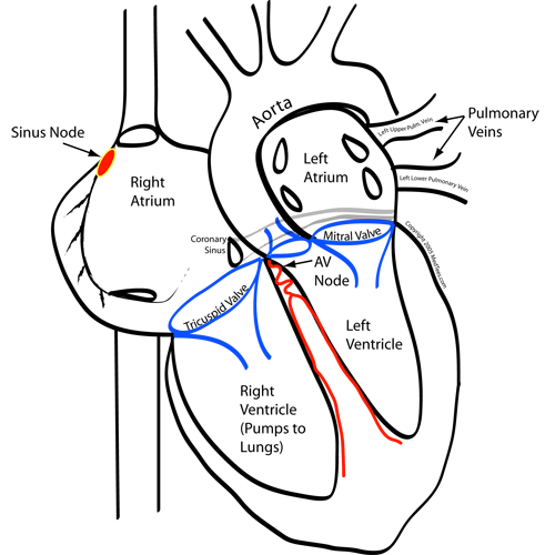 The heart and its conduction system